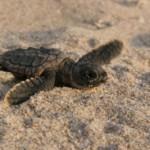Tortuga – Die unglaubliche Reise der Meeresschildkröte © polyband Medien GmbH